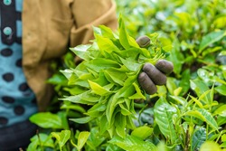 Fresh tea leafs in woman's hand at tea garden
