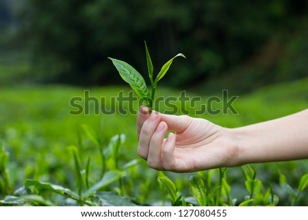 Fresh tea leaves in fingers over tea bushes on plantation