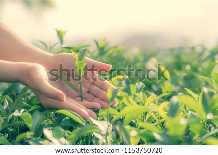 Fresh tea leaves in hands over tea bush on plantation #1153750720