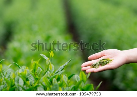 fresh tea leaves in the hand with tea field background. #105479753