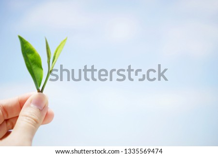 Fresh tea leaves in woman hand at tea plantation. sky background. Copy space.