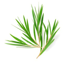 fresh tea tree isolated on white background, top view