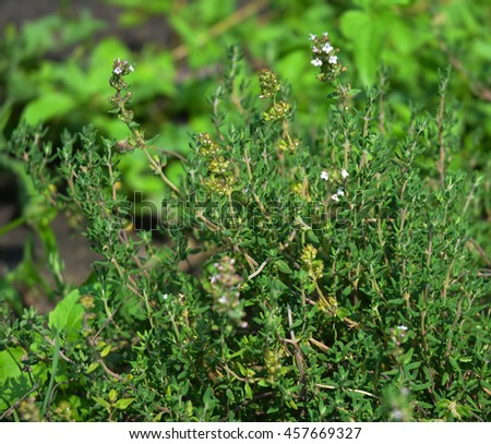Fresh Thyme Herb grow outdoor. Thyme plant leaves Close-up. Fresh Organic flavoring Thyme plants growing. Nature healthy flavoring, cooking. Ingredients for food #457669327
