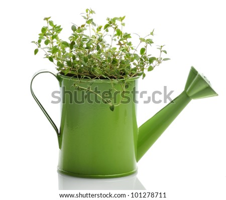 Fresh Thyme Herb In A Green Watering Can