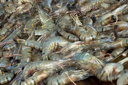 Fresh tiger prawns, close up. Heap of raw shrimps. Seafood product sell on market.