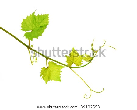 Fresh tip of grapevine branch, isolated on white background