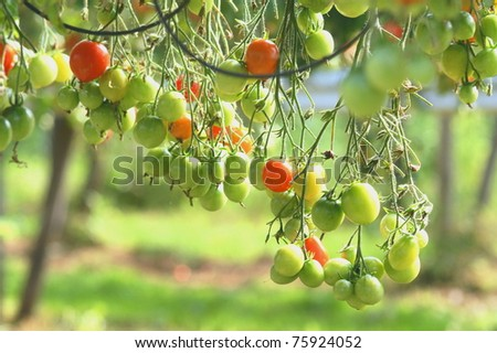 fresh tomato on a farm