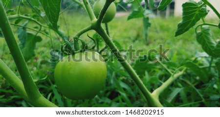 fresh tomatoes, and soon to be enjoyed. #1468202915