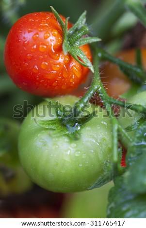 Stock Photo fresh tomatos on a plant