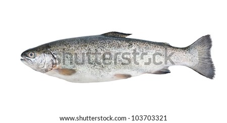 Fresh trout fish isolated on white background