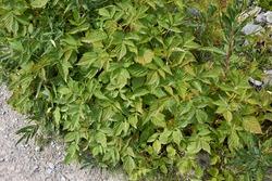 fresh uncultivated shrubs of Rubus idaeus