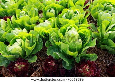 Fresh vegetable  in farm - stock photo