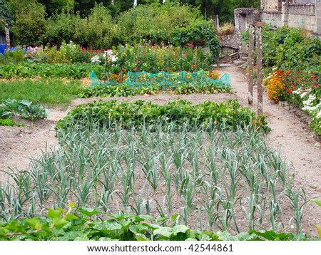 Fresh vegetables growing in an allotment