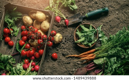 Fresh vegetables, potato, radish, tomato, carrot, beetroot in wooden box on ground on farm at sunset. Freshly bunch harvest. Healthy organic food, agriculture, top view