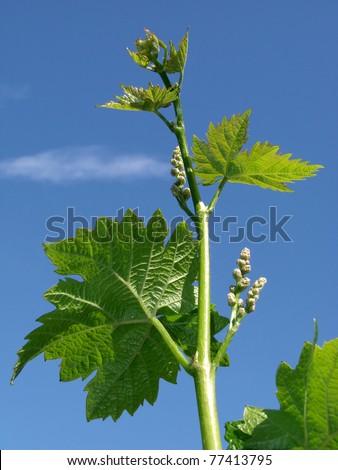 fresh vine sprout against blue sky