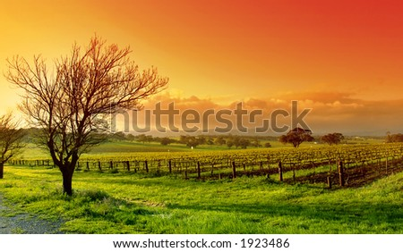 Fresh Vineyard Sunrise