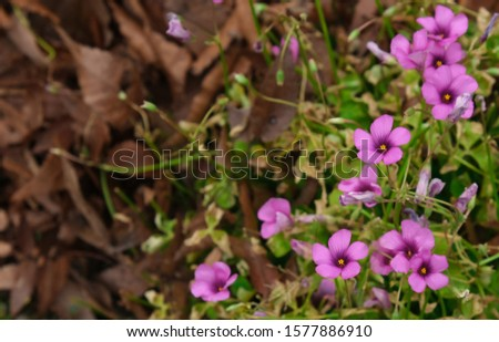fresh violet petal flower blooming. yellow pollen with green leaves in botany garden #1577886910
