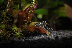 fresh water aquarium with hypancistrus L201 fish posing on a plant