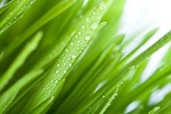 fresh wet green grass closeup