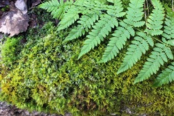 Fresh wet green moss with leaf of fern covering tree bark texture background close up natural conditions