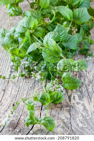 Fresh wet mint leaves on vintage rustic wood - fresh harvest from herb garden close up.