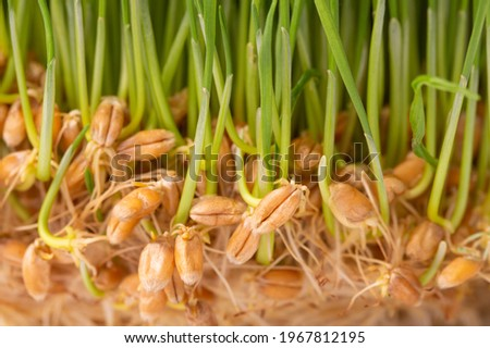 Fresh wheat grass sprouted. Handful of wheat germs. Germinated grains of wheat. Stock photo ©