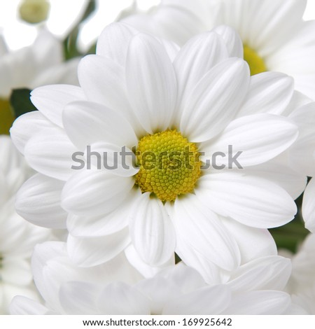 Fresh white camomiles on Holiday/Fresh bouquet of large white daisies on a white background