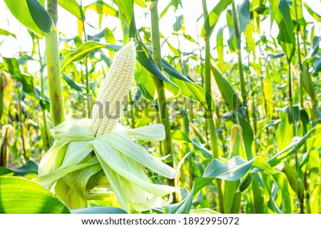 Fresh white corn pods organic on tree are in garden. Concept of agronomy for consumption and raising animals.copy space Сток-фото ©