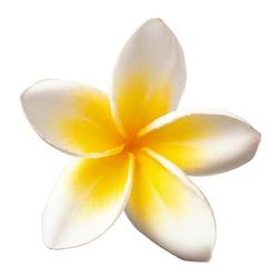fresh white Frangipani flower isolated on white background, top view