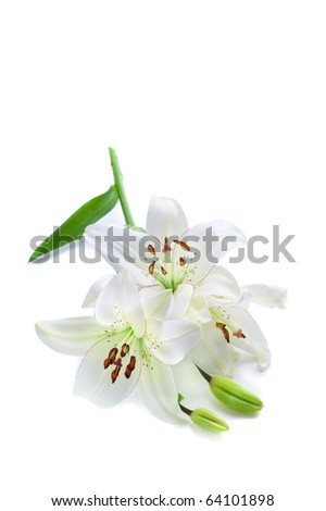 Fresh white lily branch, isolated on white