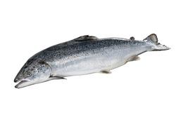 fresh whole Norwegian Salmon high res.