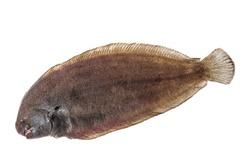 Fresh Whole single sole fish on white background - flat fish