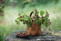 Fresh wild blackberries in basket on wooden background. Blackberry in forest close up. Juicy black wild berries and leaves in grass in the summer forest. Delicious and healthy food