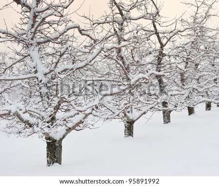 Fresh winter snow on the trees in a Michigan Apple orchard
