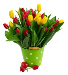 fresh yellow and red tulips with green leaves in metal pot isolated on white background