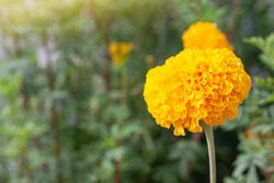 Fresh Yellow French Marigold bloom in the garden on nature background.