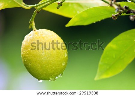 fresh yellow lemon with raindrops on tree