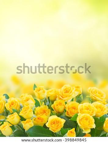 fresh yellow roses in green sunny garden