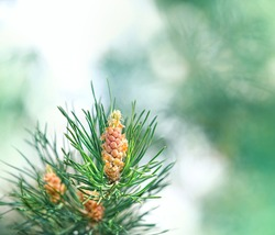 fresh young pine buds close up, healthy drug in alternative medicine. pollen male cone of pine tree Scots pine (Pinus sylvestris), spring season