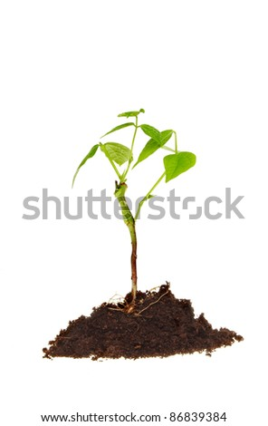 Fresh young plant seedling in a mound of earth isolated against white