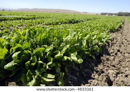Fresh young spinach in a field in Central California ready for harvest