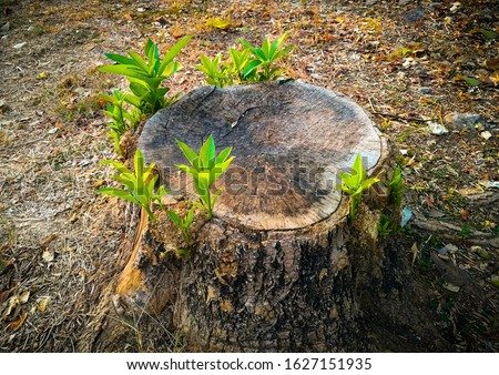 Fresh Young tree growing from stump, hope, rebirth,new life concept.