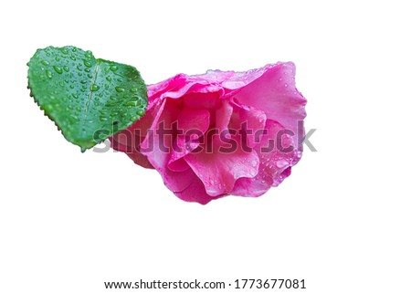Freshly blossomed rose flower, wet with raindrops. Image associated with love, freshness, natural beauty isolated in a white background