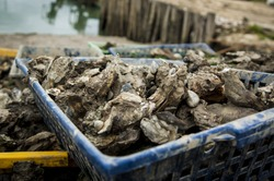 Freshly caught Oysters