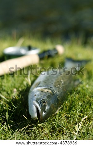 Freshly caught trout lying on the riverbank with fishing rod - shallow depth of field