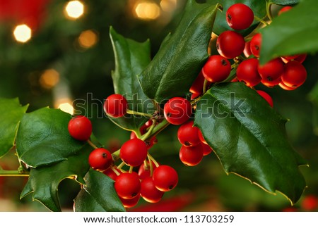 Freshly cut holly branch as holiday decor with defocused christmas tree and lights in background.  Macro with shallow dof.