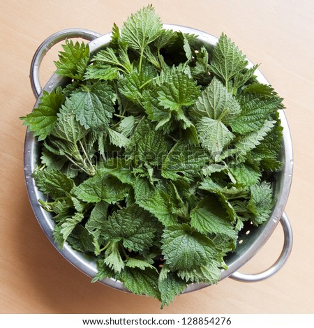 Freshly cut stinging nettles in colander ready for cooking.