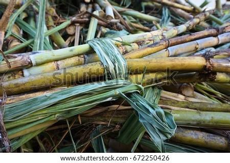 Freshly cut sugarcane stalks at the River Antoine rum factory in Grenada, Caribbean