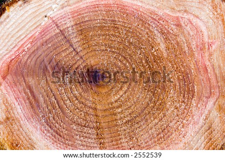 Freshly cut tree stump as a background. From a cedar tree (genus cedrus).