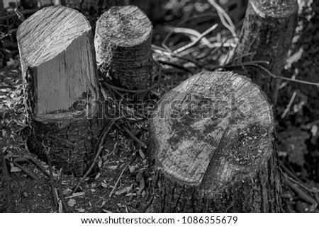 freshly cut wooden stumps on...